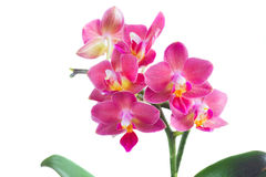 Fresh pink orchid Royalty Free Stock Image