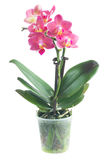 Fresh pink orchid in pot Royalty Free Stock Photography