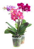 Fresh pink orchid in pot Stock Image