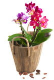 Fresh pink orchid in pot. Fresh pink, purple and blue  orchid with green leaves in pot isolated on white background Stock Photography