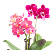 Fresh pink orchid in pot Stock Photo