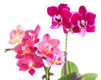 Fresh pink orchid in pot Stock Images