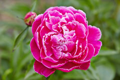Fresh pink peony flower closeup on bush Royalty Free Stock Photo