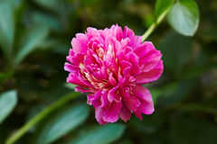 Fresh pink peony flower closeup on bush Royalty Free Stock Photography