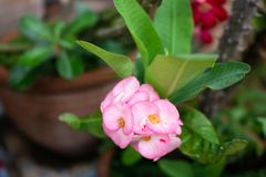 Fresh Pink Poi Sian flower after rain. Fresh Pink Poi Sian flowers after rain Stock Photography