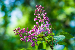 Fresh pink and purple lilac flowers against vibrant green backgr Stock Photography