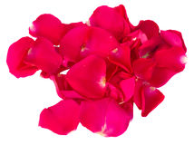 Fresh pink  red  garden roses Stock Images
