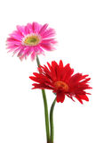 Fresh pink and red gerbera Royalty Free Stock Images