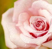 Fresh pink rose Royalty Free Stock Photography