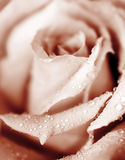 Fresh pink rose Stock Photos