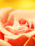 Fresh pink rose Royalty Free Stock Photo