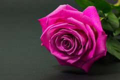 Fresh pink rose close up on dark background floral background royalty free stock photography