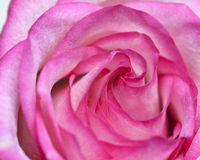 Fresh pink rose flower Stock Photography