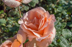 Fresh pink rose with ice on leafs Stock Photo