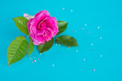 Fresh pink rose over blue background Royalty Free Stock Photo