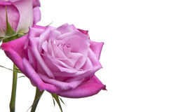 Fresh Pink Roses Royalty Free Stock Photos