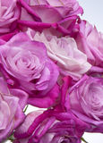 Fresh Pink Roses Royalty Free Stock Images