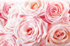 Fresh Pink roses background Royalty Free Stock Photo