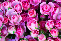 Fresh pink roses with green leaves Stock Photography