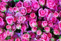 Fresh pink roses with green leaves Stock Images