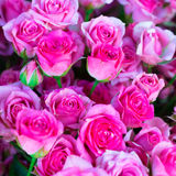 Fresh pink roses with green leaves Stock Photos
