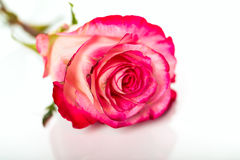 Fresh pink roses on white Stock Photo