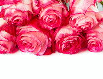 Fresh pink roses on white Stock Image