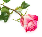 Fresh pink roses on white Royalty Free Stock Photo