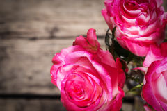 Fresh pink roses on white Stock Images