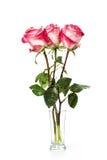 Fresh pink roses on white Stock Photos