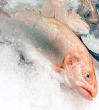 Salmon Trout stock photos