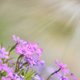 Fresh, pink, soft spring blossoms on nature background. Stock Photos
