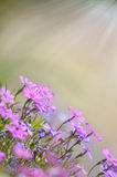 Fresh, pink, soft spring blossoms on pink bokeh background. Stock Image