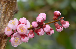 Fresh, pink, soft spring cherry tree blossoms Stock Photo