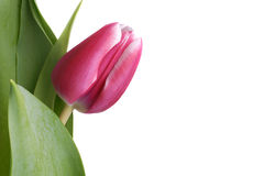 Fresh Pink Tulip Royalty Free Stock Photo