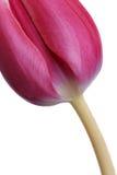 Fresh Pink Tulip Royalty Free Stock Photos