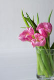 Fresh pink tulip flowers bouquet in a glass jar Stock Photography