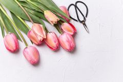 Fresh pink tulip flowers  and scissors on  textured background. Royalty Free Stock Image