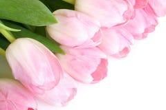 Fresh pink tulips Stock Photo