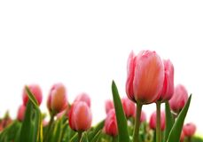 Fresh pink tulips Stock Photo