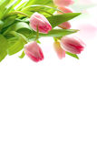 Fresh pink tulips Royalty Free Stock Photo