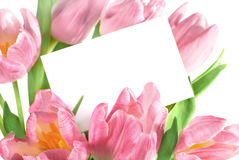 Fresh pink tulips Royalty Free Stock Images