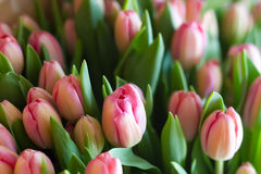 Fresh pink tulips Royalty Free Stock Photography