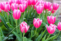 Fresh pink tulips Stock Photos
