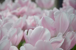 Fresh Pink Tulips closeup. Pale pink tulips, in spring, under the bright sun Royalty Free Stock Photos