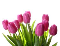 Fresh pink tulips isolated as background. Closeup Royalty Free Stock Photography