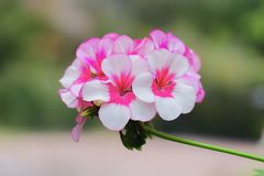 Fresh pink and white geranium flowe blooming in summer.  stock photo