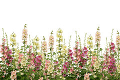 Fresh pink and white mallow flowers border Stock Images