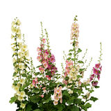 Fresh pink and white mallow flowers. Isolated on white Stock Image