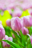 Fresh pink & white tulips Royalty Free Stock Images